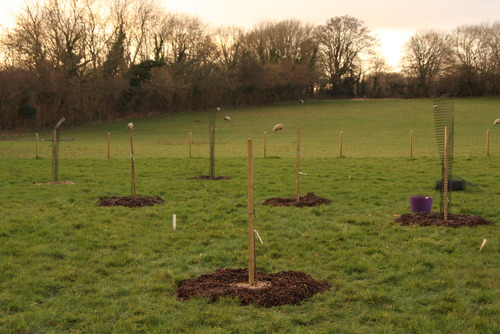 newly planted trees 2013-14
