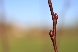 Salix Candida (I think!)